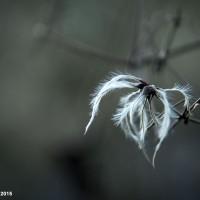 Fiore Piumato val Vertova